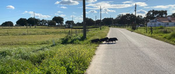 Wild pigs crossing the road in Portugal
